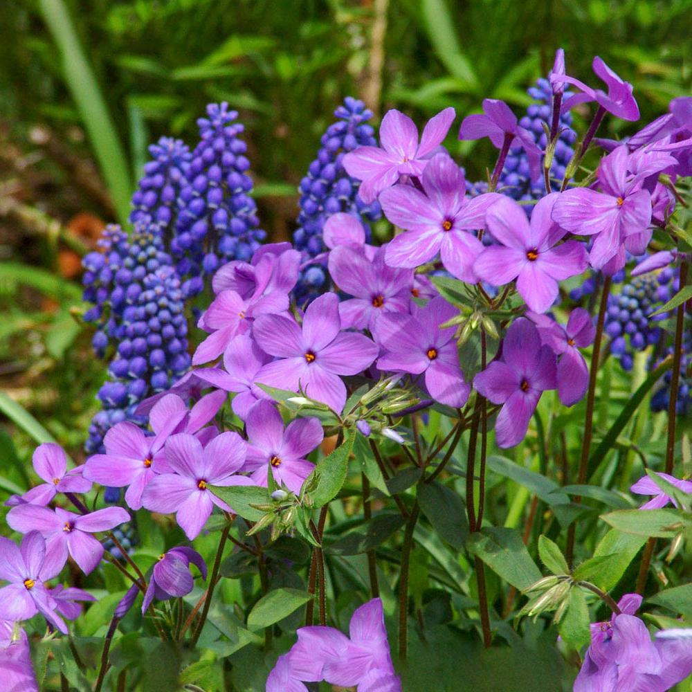 Spring Hill Nurseries 3 In Pot Sherwood Woodland Phlox Live