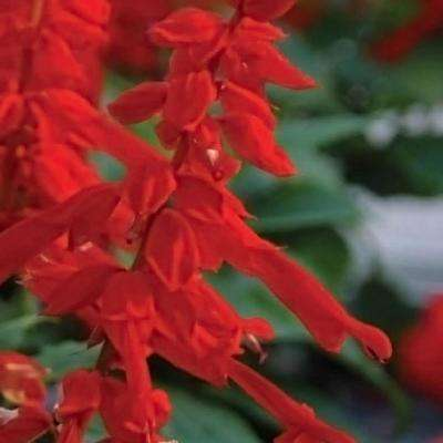 2.5 Qt. Saucy Red Salvia, Live Blooming Perennial Plant, Scarlet-Red Flower Spikes