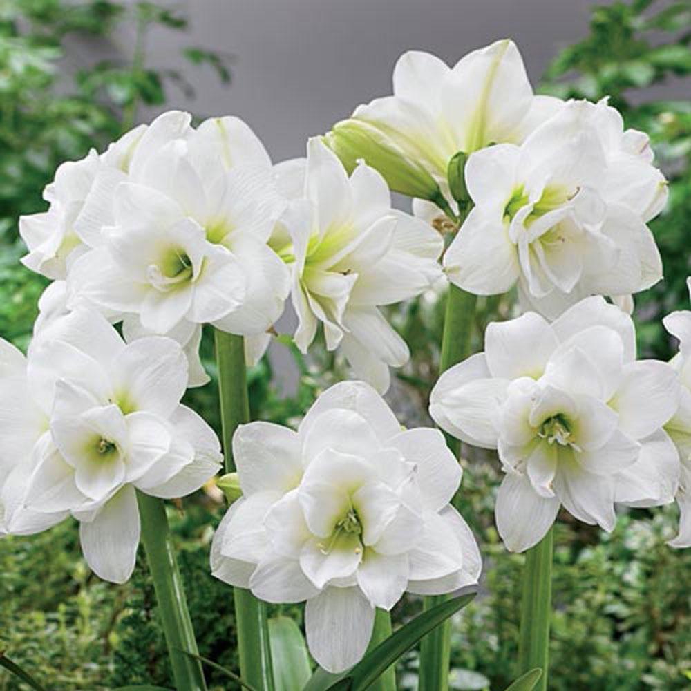 Hardy Amaryllis Alaska Bulbs (3-Pack)