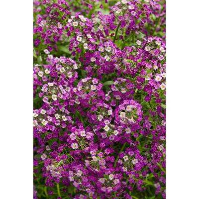 Dark Knight Sweet Alyssum (Lobularia) Live Plant, Purple Flowers, 4.25 in. Grande, 4-pack