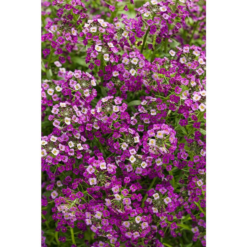 Dark Knight Sweet Alyssum (Lobularia) Live Plant, Purple Flowers, 4.25 in. Grande, 4-pack