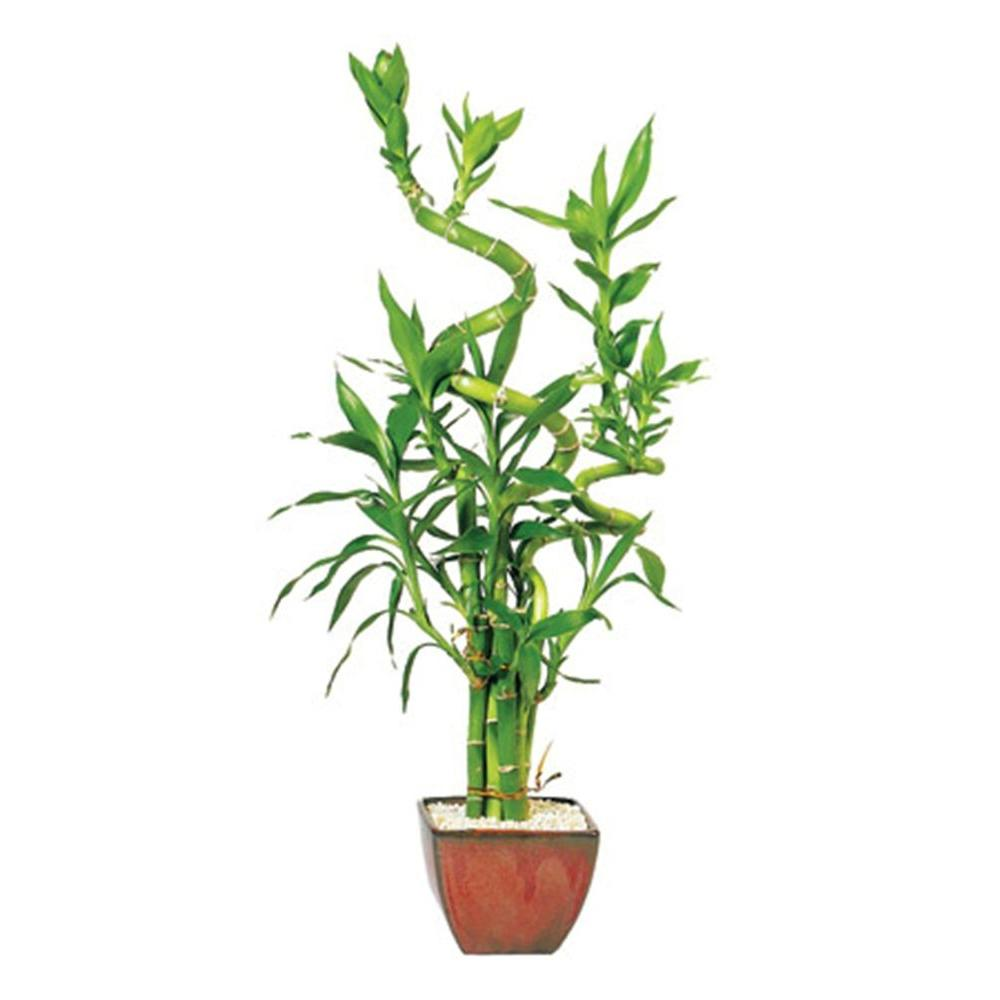 house plant emerald queen html with Indoor Lemon Tree Home Depot on Fern House Plant Seeds also Plants Trees And Other Flowers also Queen Maxima Of  herlands Visits additionally Aglaonema together with Michelle Obama Shines US Party Attended David Beckham.