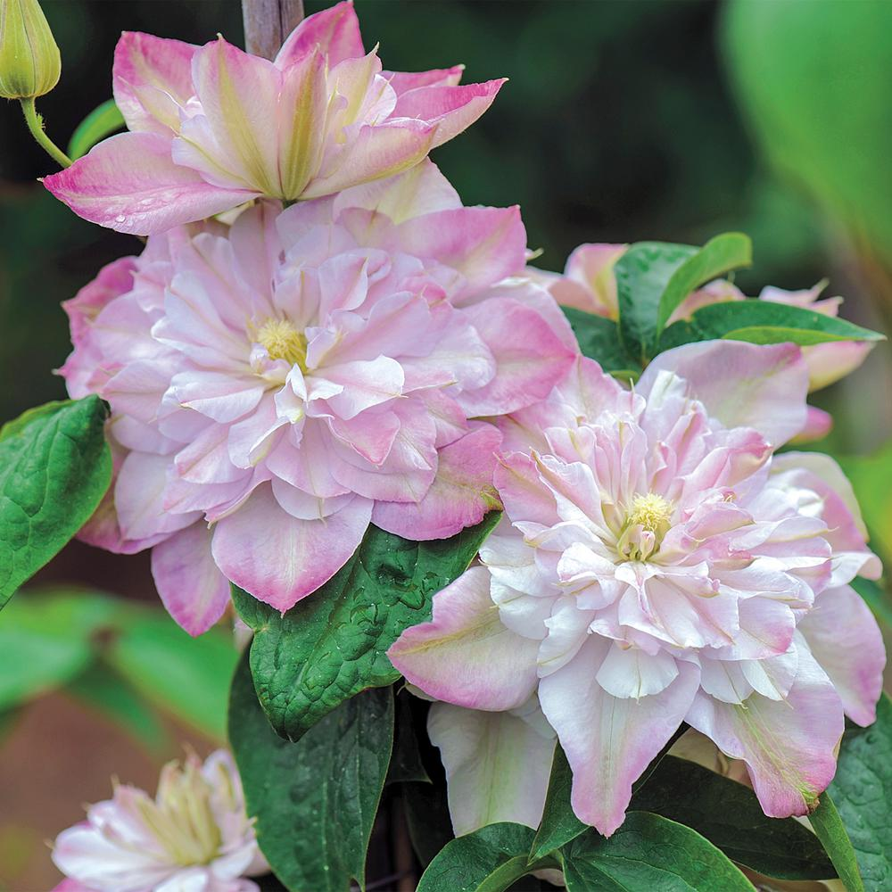 3 In Pot Innocent Blush Clematis Vine Live Perennial Plant With Pink Flowers 1 Pack