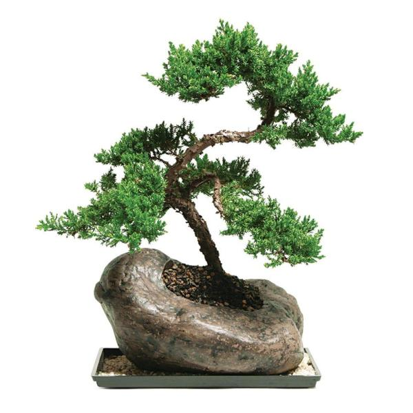 Brussel S Bonsai Green Mound Juniper In Rock Pot Outdoor Dt 8001gmjr The Home Depot