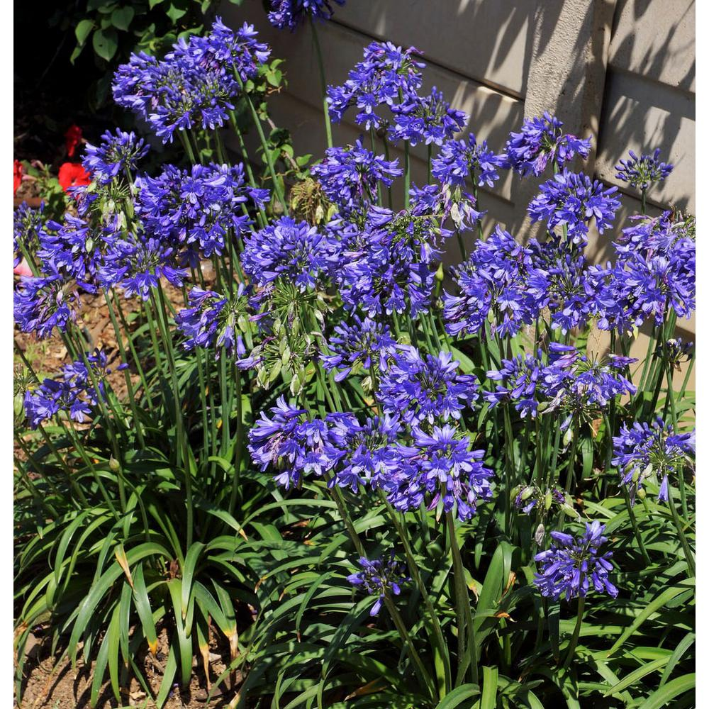 Southern Living Plant Collection 2 5 Qt Ever Sapphire Agapanthus