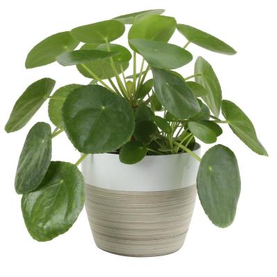 Pilea Peperomioides Sharing Plant in 6 in. Contemporary Planter