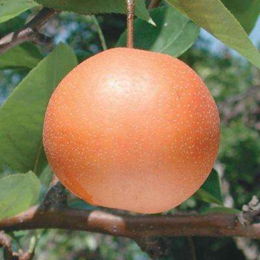 Chojuro Pear Pyrus Live Fruiting Bareroot Tree (1-Pack)