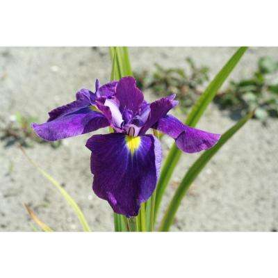 Iris ensata Loyalty (2-Pack)