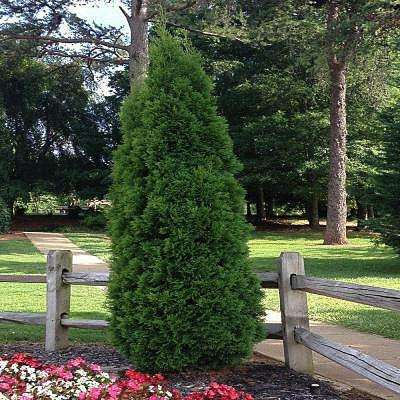 1 Gal. Green Giant Arborvitae Tree