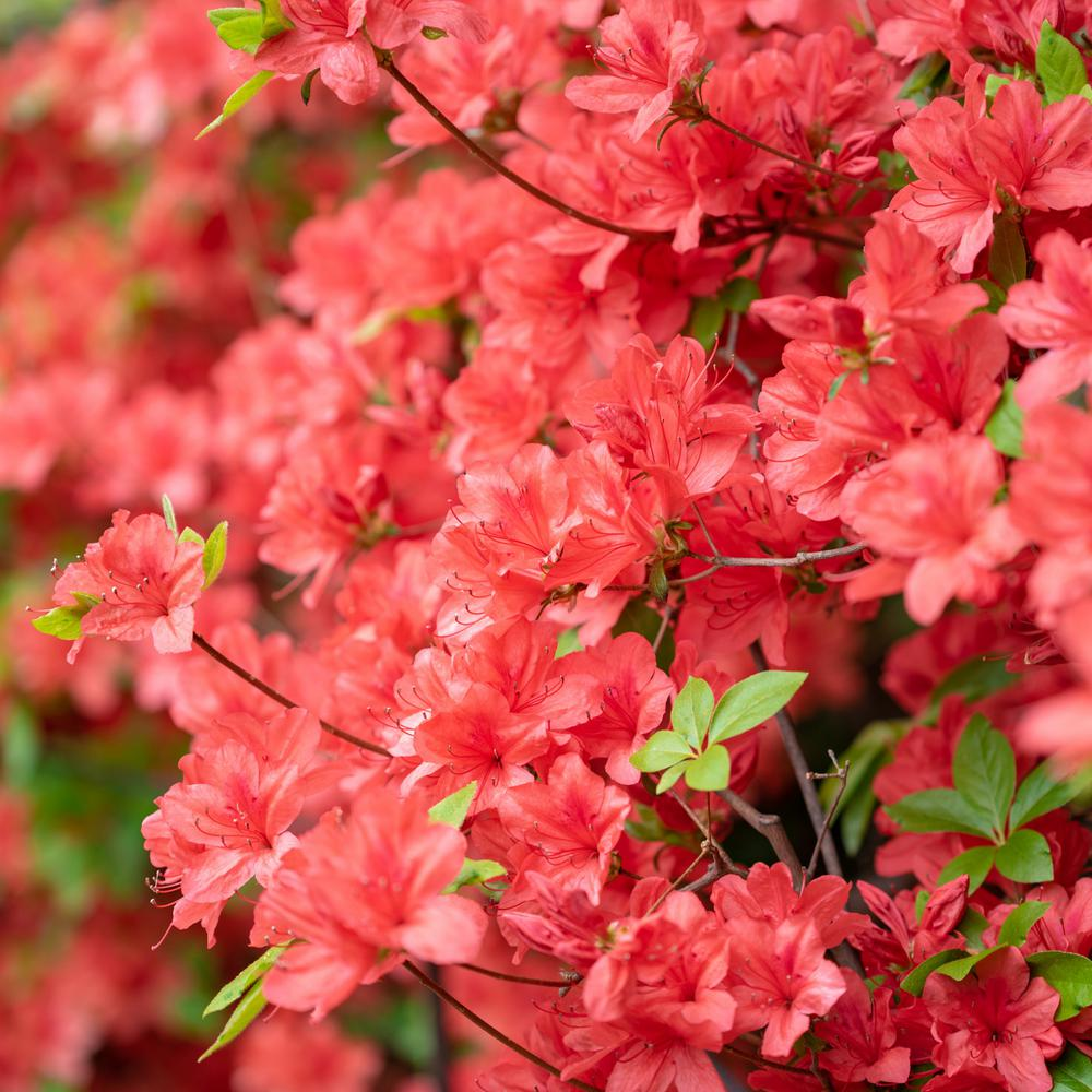 National Plant Network 2 5 Qt Azalea Flame Creeper Flowering