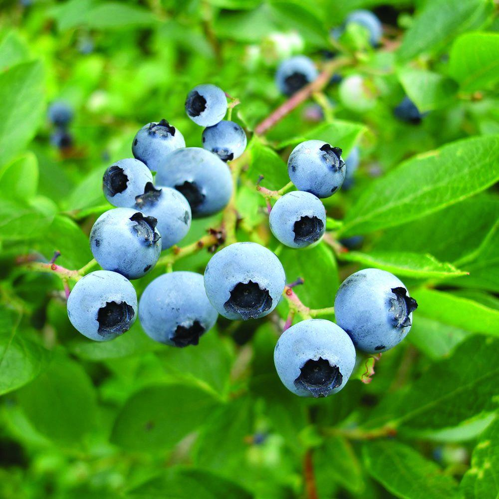 Northern High Bush Blueberries in Decorative Planter