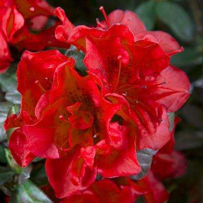 3 Gal. Autumn Fire Encore Azalea Shrub with True Red Reblooming Flowers