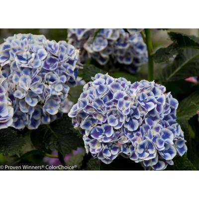 1 Gal. Cityline Mars Bigleaf Hydrangea (Macrophylla) Live Shrub, Blue, Pink and Green Flowers