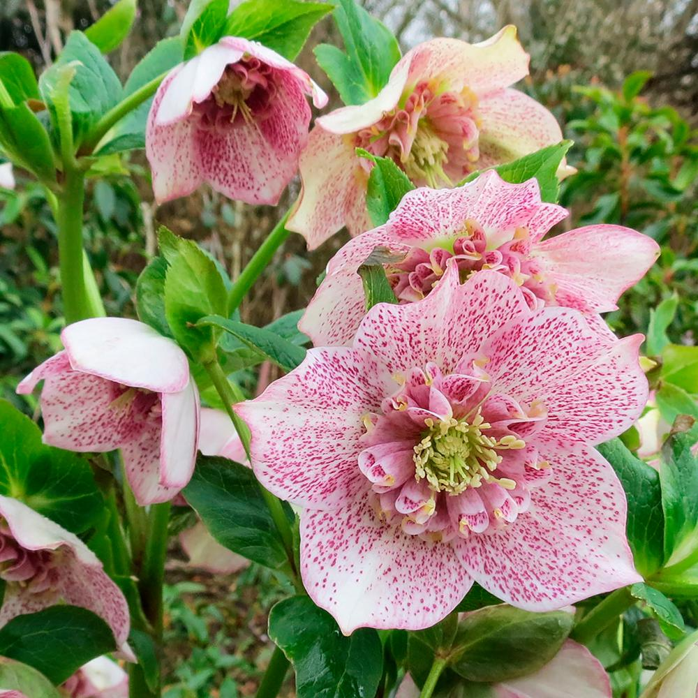Growing Hellebores Those Lovely Harbingers Of Spring: Spring Hill Nurseries 2.50 Qt. Pot Tutu Lenten Rose
