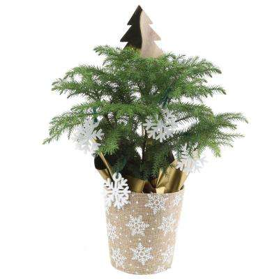 4 in. Fresh Norfolk Island Pine in Burlap Pot