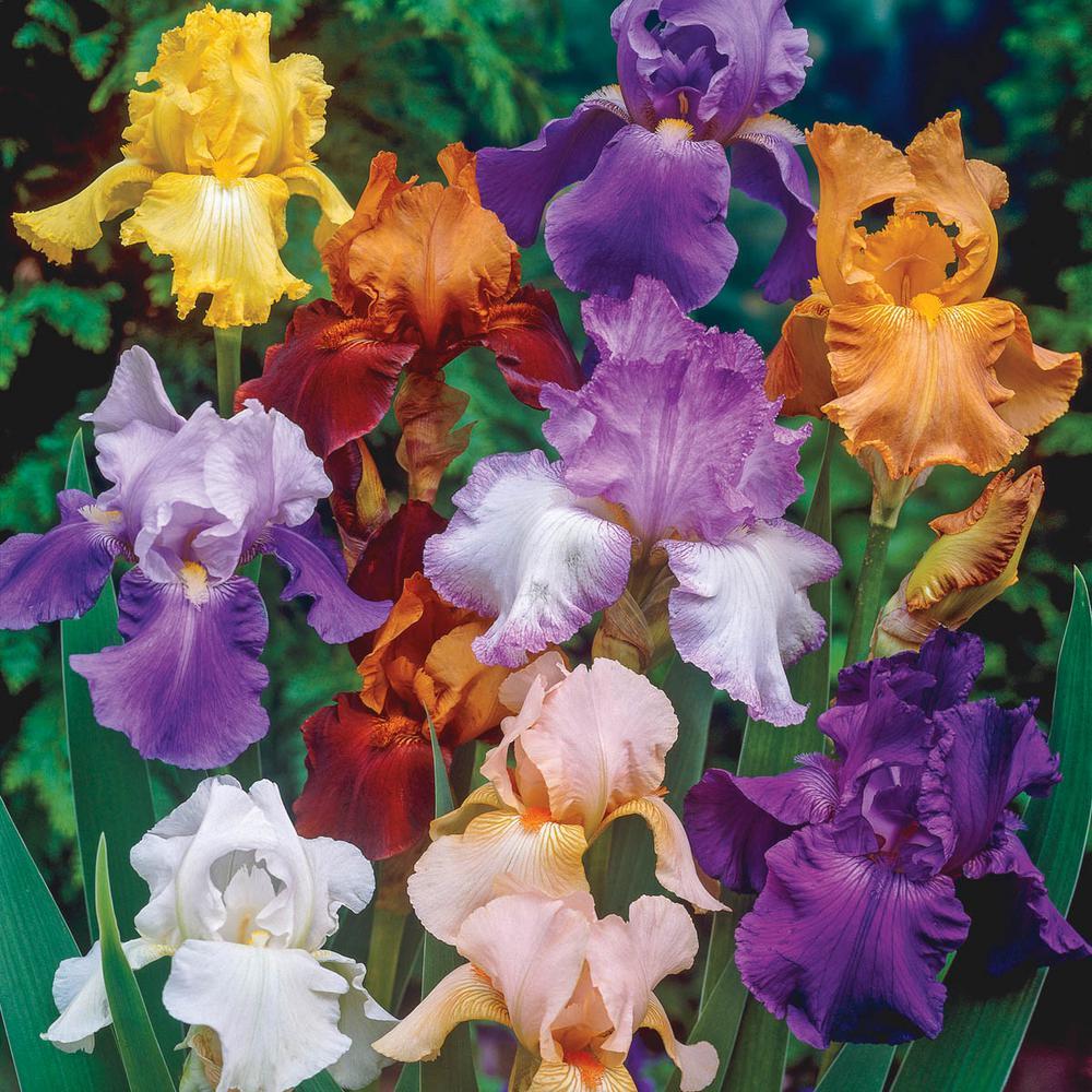 Brecks Reblooming Tall Bearded Iris Mixture Live Bareroot Plants