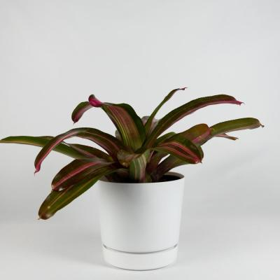 Sweet Vibrations Bromeliad (Neoregelia) 8 in. Decorator White Contemporary Pot with Built-In Saucer