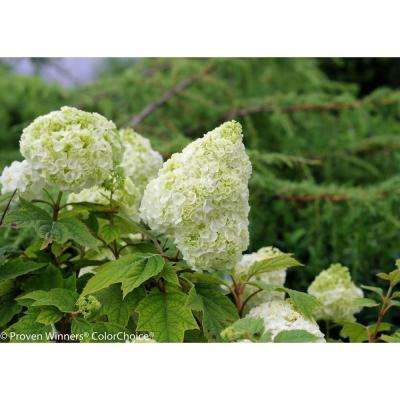 Gatsby Moon Oakleaf Hydrangea (Quercifolia) Live Shrub, White to Green Flowers, 1 Gal.