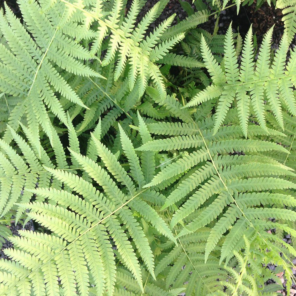 2.5 Qt. Southern Wood Fern, Live Evergreen Plant, Soft Green Foliage