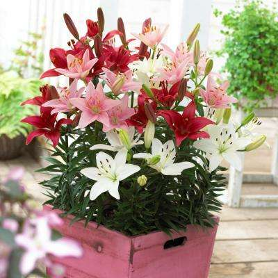 Patio Container Blend Lily Sorbet Bulbs (7-Pack)