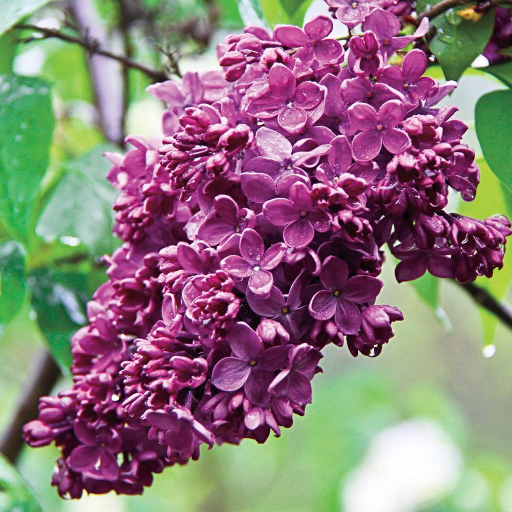 Pot Congo Frensh Hybrid Lilac Syringa, Live Deciduous Plant with Red Flowering Shrub (1-Pack)