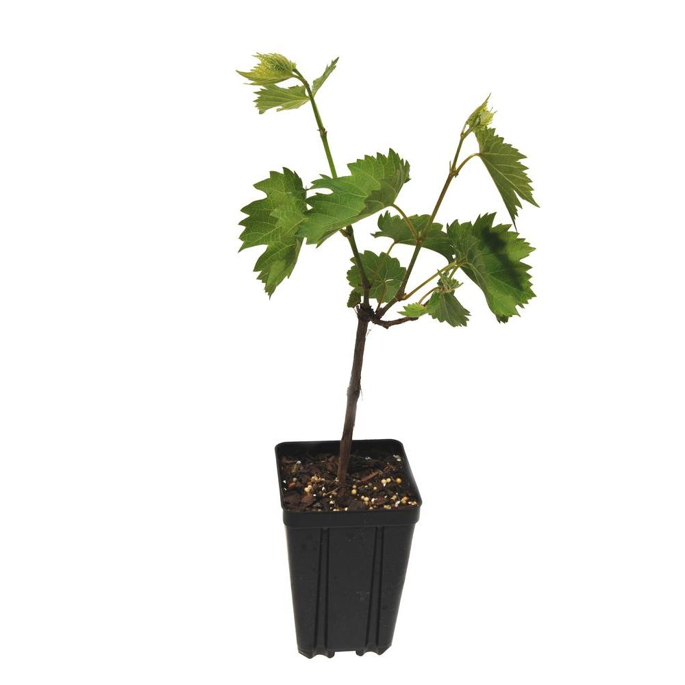 Sweet Berry Selections Foch Grape Fruit Bearing Potted Vine