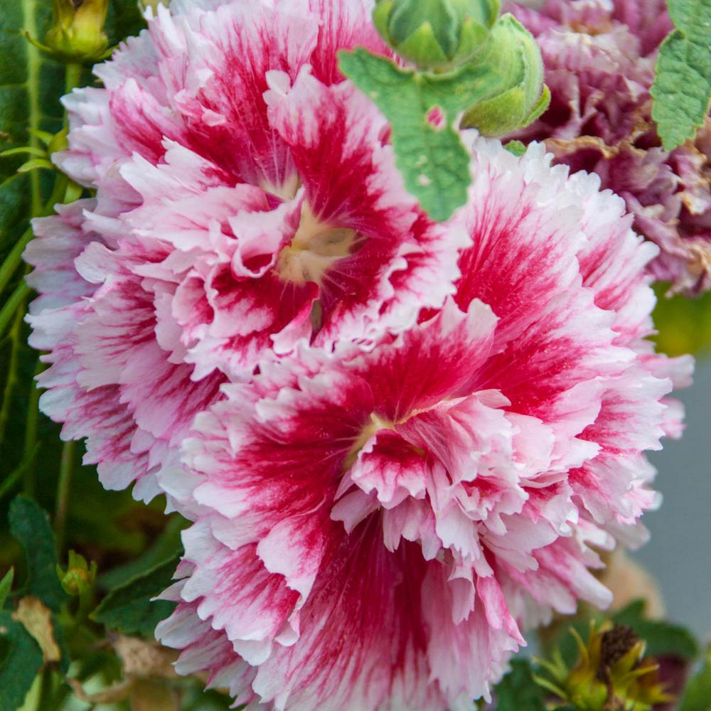 Pot Fiesta Time Hollyhock Alcea Live Potted Perennial Plant In Pink Flowers 1 Pack