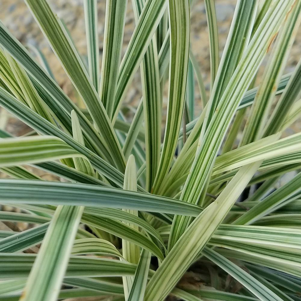 25 Qt Aztec Grassliriope Live Grass Green And White Variegated