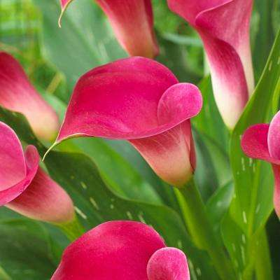 Perennial flowering hot pink flower bulbs garden plants callas pink jewel bulbs 5 set mightylinksfo