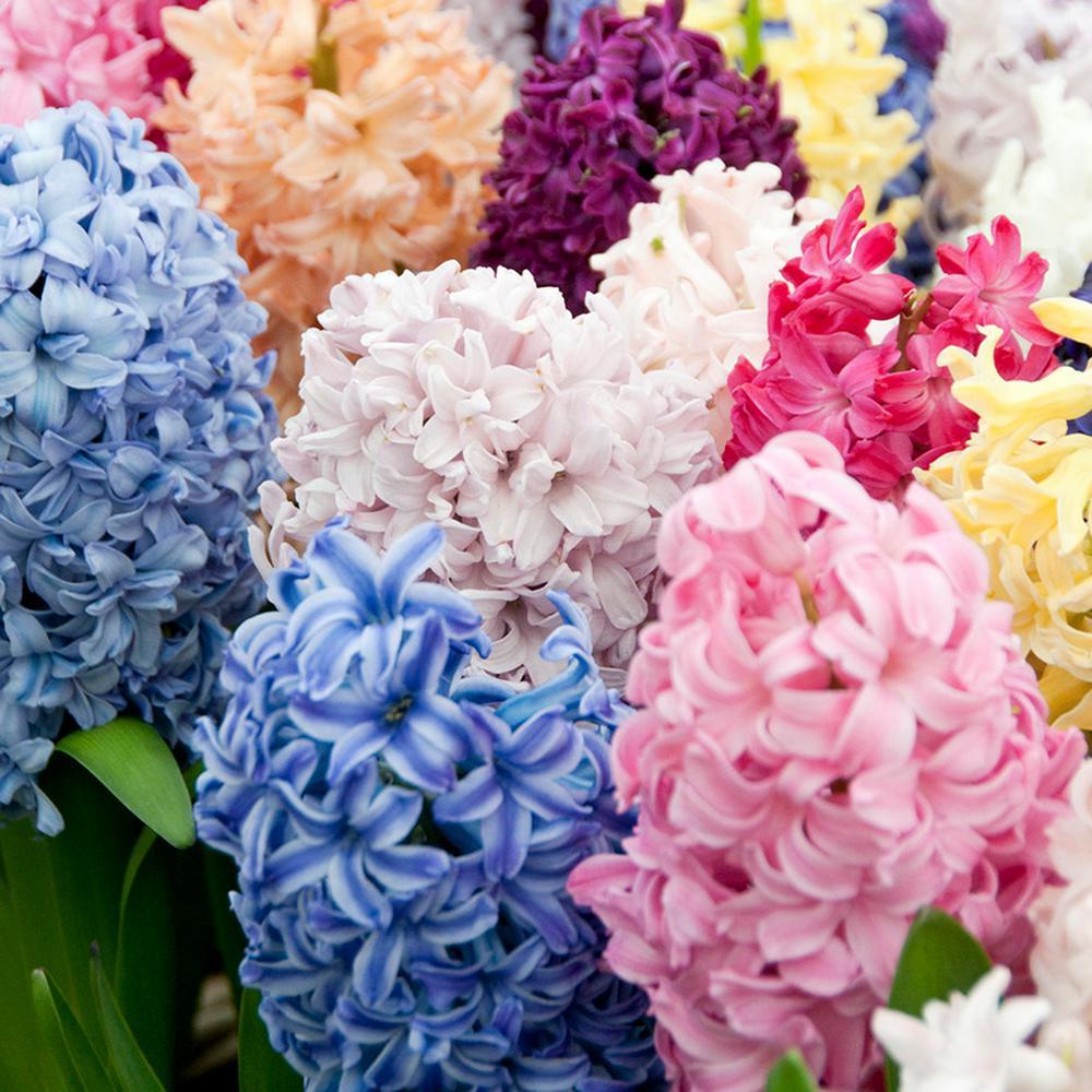 Hyacinths Bulbs Easter Basket Blend (Set of 12)