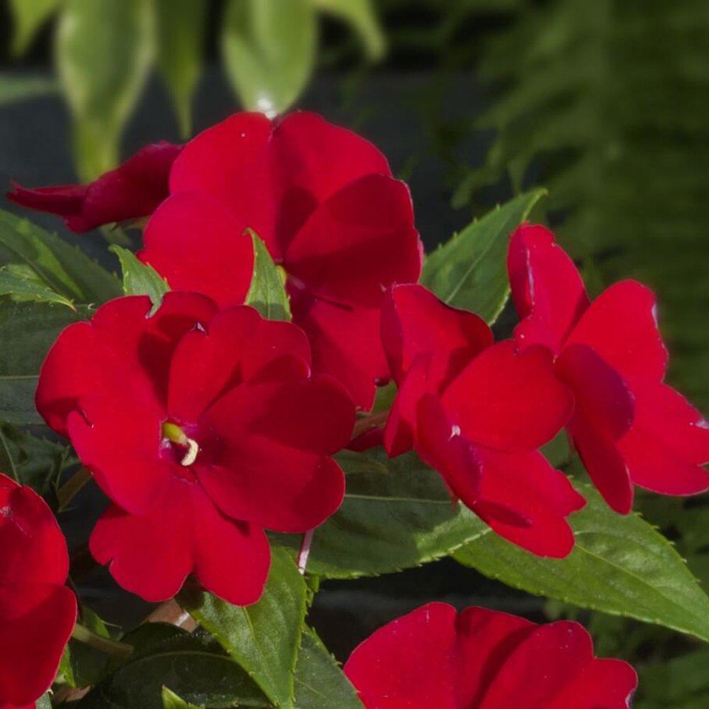 2.25 Qt. SunPatien Impatien Plant Red Flowers in 2.75 In. Cell Grower's Tray (6-Plants)