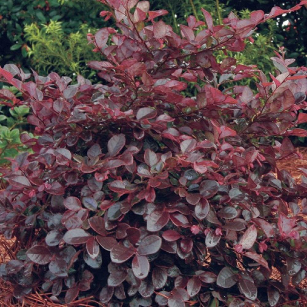 Southern Living Plant Collection 2 Gal. Purple Diamond