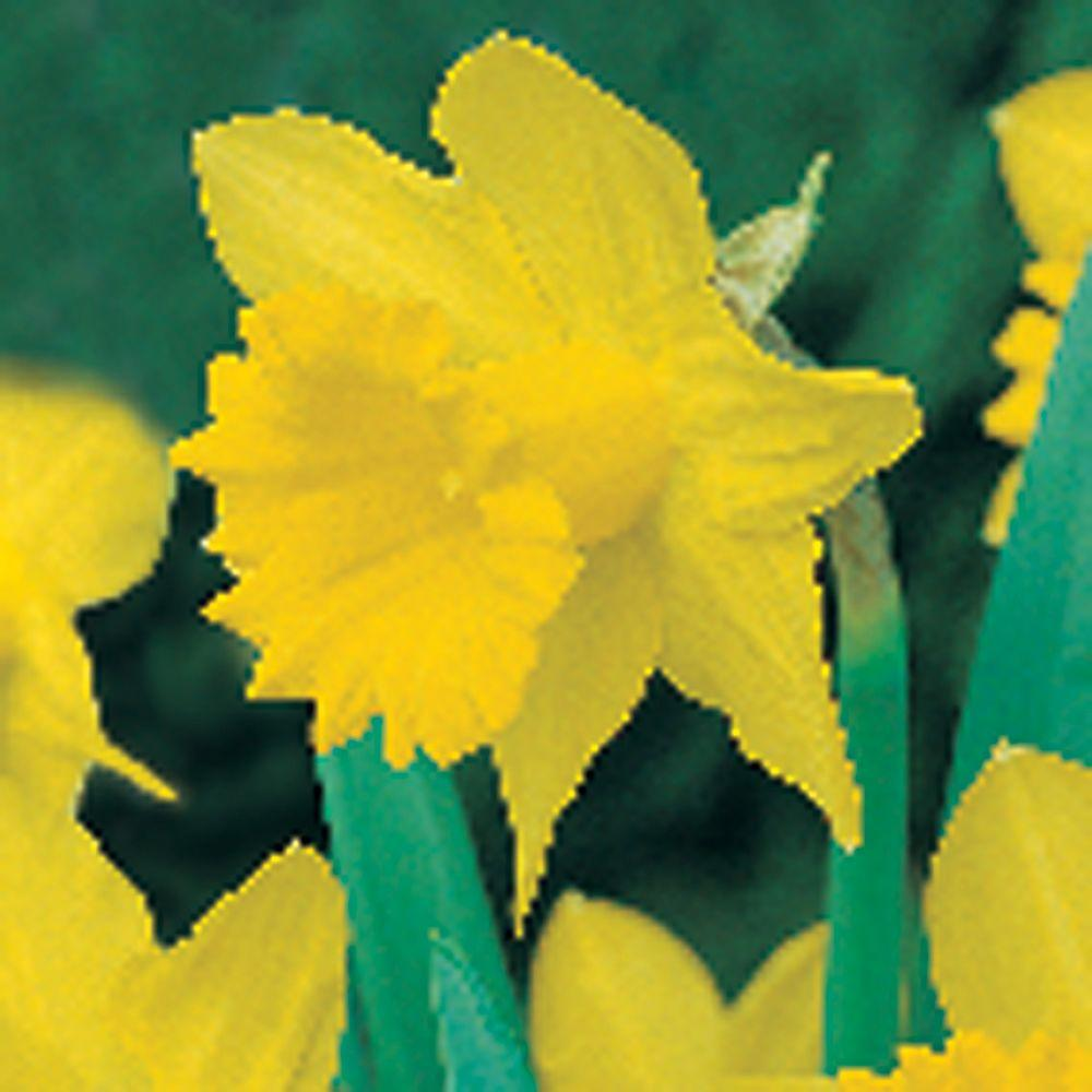 null Daffodil King Alfred Type Dormant Bulbs (80-Pack)