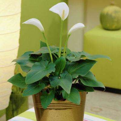 Flowering white calla lily flower bulbs garden plants calla kit bulbs with artisan decorative planter mightylinksfo