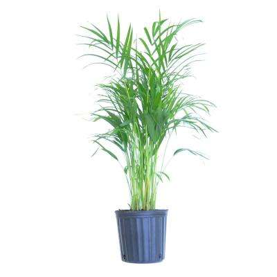 Areca Palm Live Dypsis lutescens Indoor Outdoor Houseplant in 10 in. Grower Pot 24 in. to 34 in. Tall
