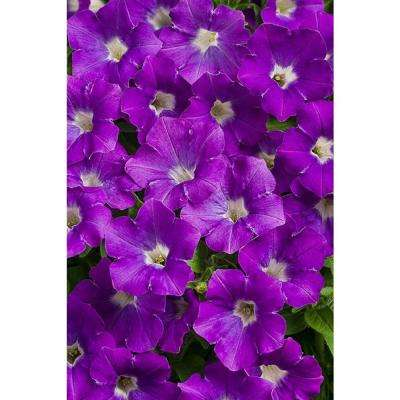 4-Pack, 4.25 in. Grande Supertunia Morning Glory Charm (Petunia) Live Plant, Purple Flowers