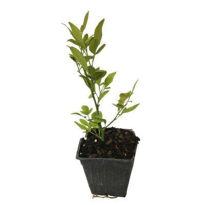 4 in. Pot Lemon Tree Plant