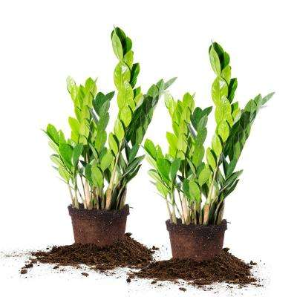 ZZ Plant 6 in. Pot (2-Pack)