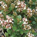 2 Gal. Spring Sonata Indian Hawthorn, Live Evergreen Shrub, White Flower Clusters