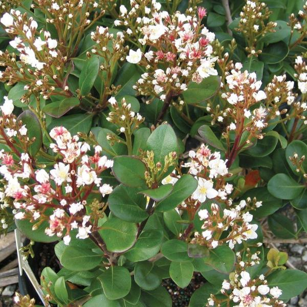 2 Gal. Spring Sonata Indian Hawthorn, Live Evergreen Shrub, White Flower Clusters