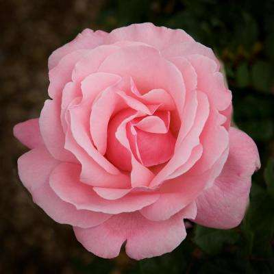 Pink Rose Queen Elizabeth Root Stock