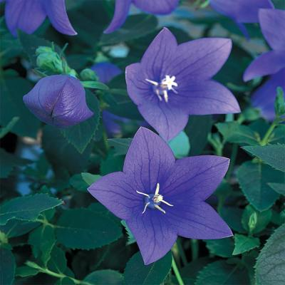 #5 1 Qt. Astra Blue Balloon Flower Plant