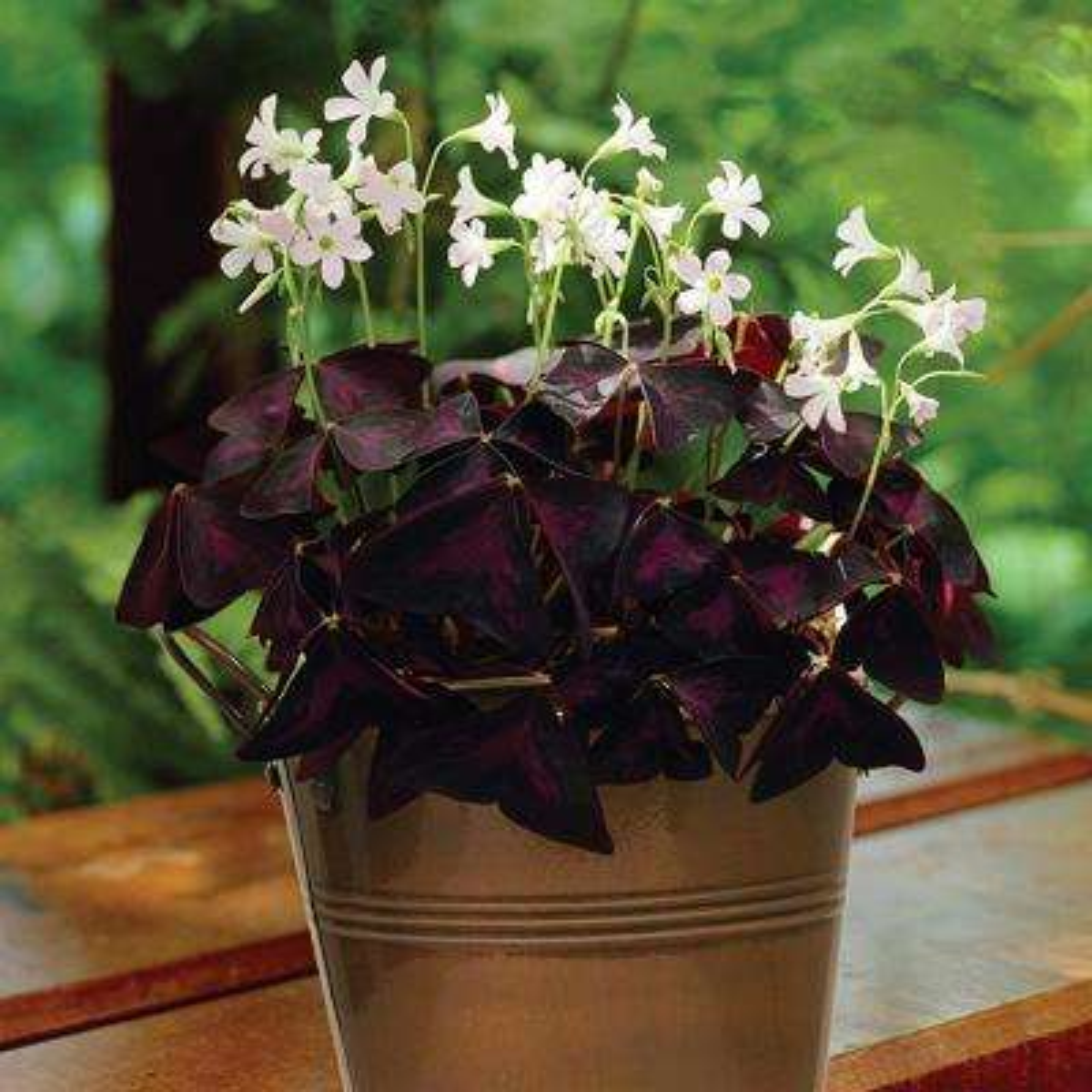 Oxalis Kit Bulbs with Artisan Decorative Planter)