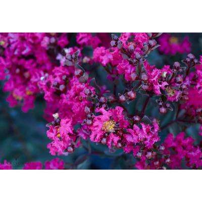 Black Diamond Mystic Magenta Crape Myrtle Dormant Packaged Tree
