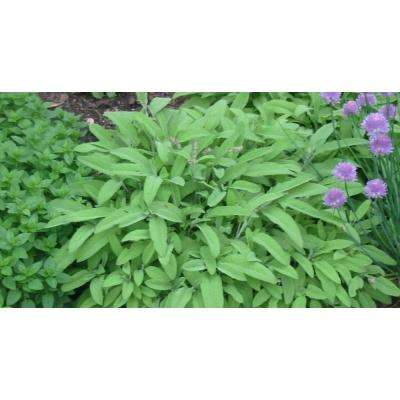 4.25 in. Grande Proven Selections Garden Sage, Live Plant, Herb (Pack of 4)