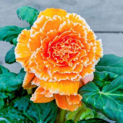 Apricot Flowers Lace Apricot Begonia Bulbs (2-Pack)