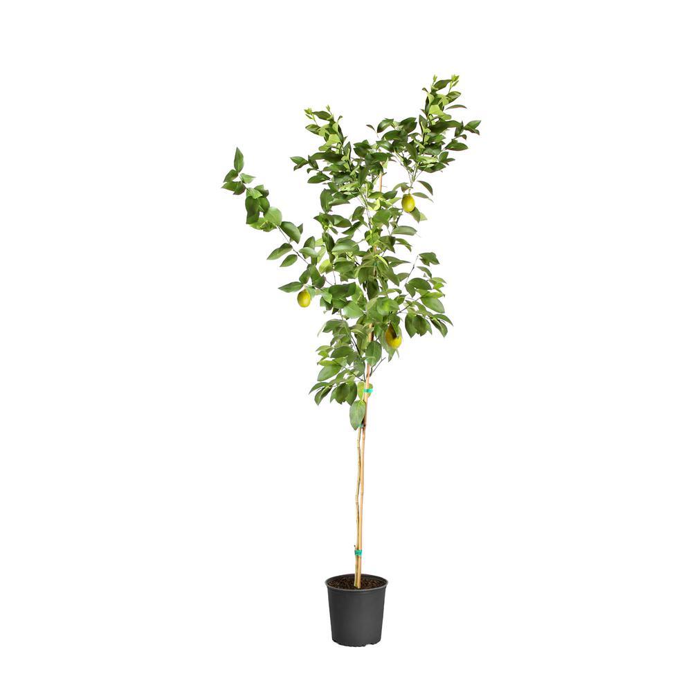 Meyer Lemon Tree in 3 Gal. Pot