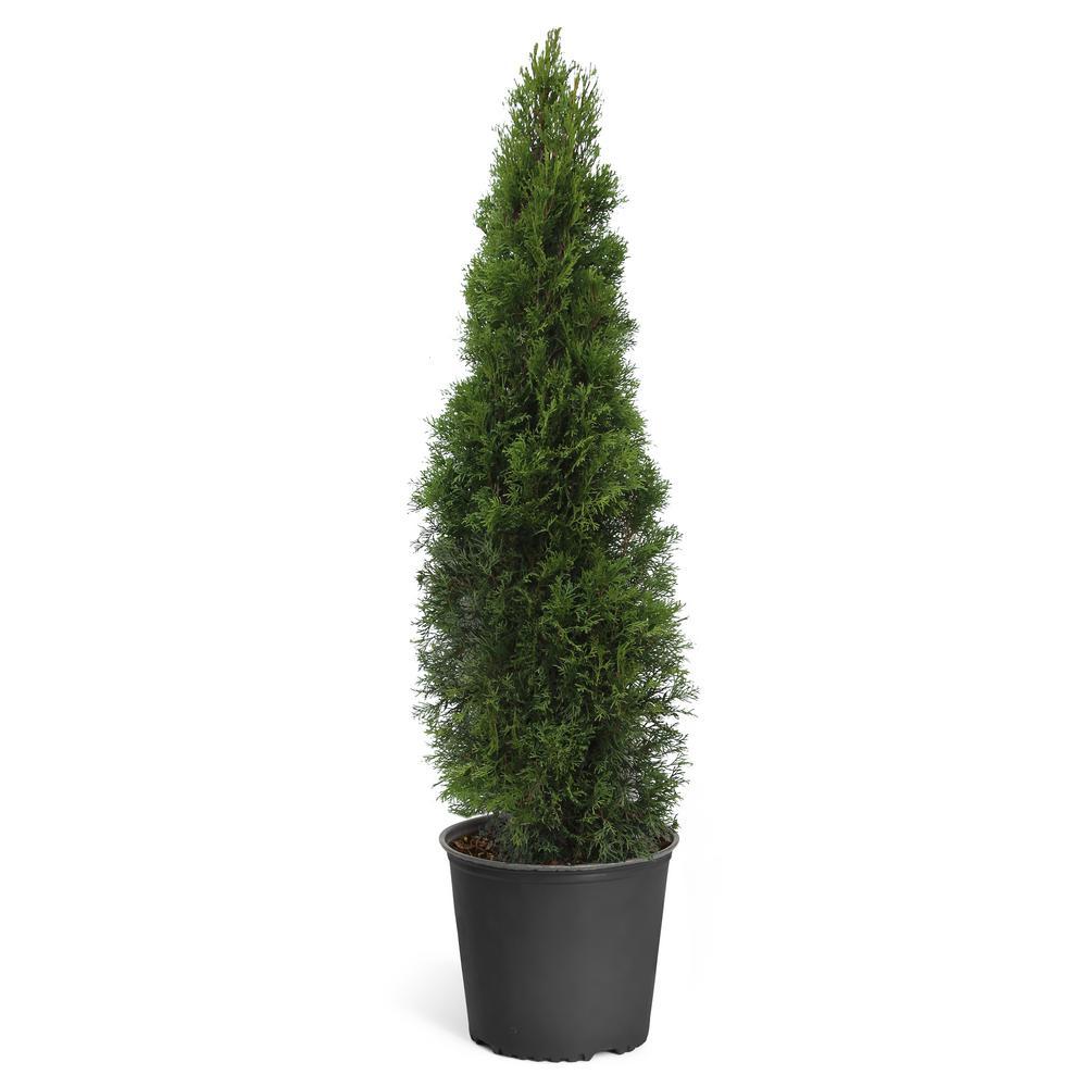 3 Gal. Emerald Green Arborvitae Evergreen Trees