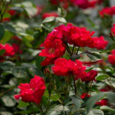 4 in. Pot, Red Freedom Shrub Rose, Live Potted Plant, Red Color Flowers (1-Pack)