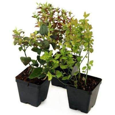 Bushel and Berry Southern Smoothie Collection 3.5 in. Pots Blueberry Plants (3-Piece)